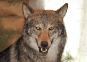 Dabar vilkai drąsiai gali eiti kad ir į medžiotojų kiemus – juos šaudyti draudžia valstybė.