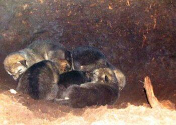 Dabužių miške guolyje aptikti šeši vilkiukai.          Vlado MASLINSKO nuotr.